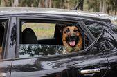 German Shepherd Dog looking out of a motor car window — Stock Photo
