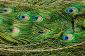 Pattern of colorful peacock tail feathers feathers — Stock Photo