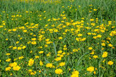 Yellow flowers in spring blooming meadow — Stock Photo