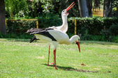 Couple of white storks — Stock Photo