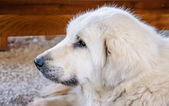 Portrait of a beautiful purebred shepherd dog — Stock Photo