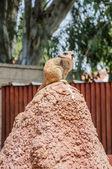 Meerkat looking back — Stock Photo