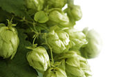 Hops — Stock Photo