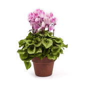 Pink cyclamen on pot isolated on white background — Stock Photo