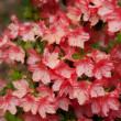 Stock Photo: Beautiful pink azalea