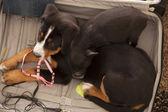 собака и поросенок в чемодан — Стоковое фото
