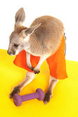 Kangaroo in shorts by a workout weight — Stockfoto