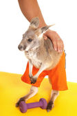 Kangaroo with weight workout — 图库照片