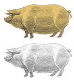 Pig or swine in vintage engraved style — Stock Vector