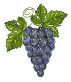 Grapes in vintage engraved style — Stock Vector