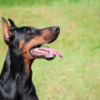 Doberman Pinscher - Stock fotografie