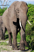 African elephant in wild savanna(National park Chobe, Botswana) — Stock Photo