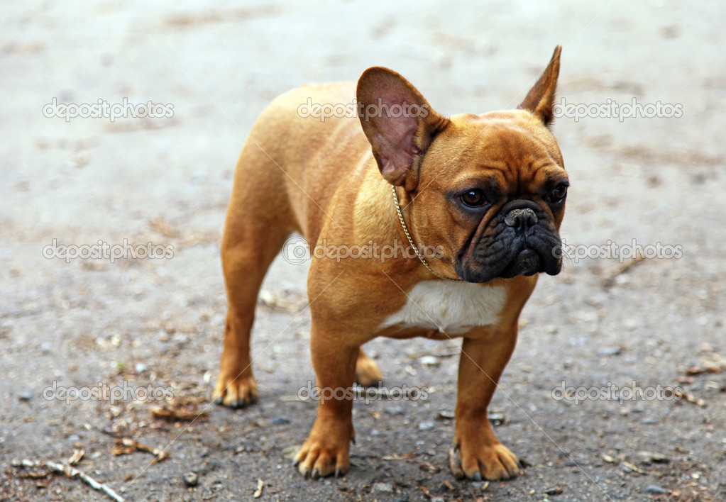 Cute beige french bulldog on a walk. selective focus — Stock Photo #12173748