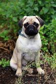 Little pug dog — Stock Photo