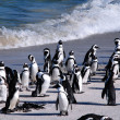 ������, ������: African penguins at Boulder Beach South Africa