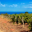 Vineyard near sea(Crimea , Ukraine) — Stock Photo #12274567