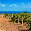 Vineyard near sea(Crimea , Ukraine) — Stock Photo