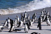 African penguins at Boulder Beach(South Africa) — Stock Photo