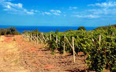 Vineyard near sea(Crimea , Ukraine) — Stock Photo