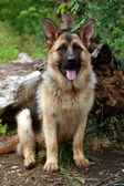 German shepherd dog — Stock Photo