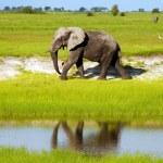 ������, ������: African elephant in wild savanna Botswana South Africa