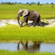 Stock Photo: Africelephant in wild savanna( Botswana, South Africa)