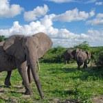 ������, ������: Gigantic african elephant in wild savanna National park Chobe B