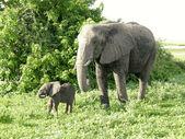 Mother and baby african elephants, Botswana. — Stock Photo
