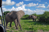 Gigantic african elephant in wild savanna(National park Chobe, B — Stock Photo