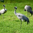 Red-crowned crane - Stock Photo