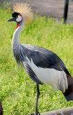 Grey Crowned Crane(Balearica regulorum) — Stok fotoğraf