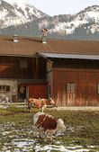 Cow and farm in Alps, Austria — Zdjęcie stockowe