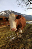 Curious cow on Alps farm — Zdjęcie stockowe
