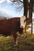 La vaca en granja Alpina — Foto de Stock