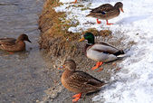 Ducks in winter — 图库照片
