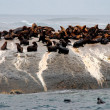 Colony of fur seals - Stock Photo