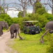 Elephant safari(Botswana) — Stock Photo