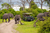 Elephant safari(Botswana) — Stock Photo