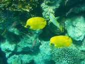 Tropical butterfly fish on Colourful coral reef in the Red Sea , — Stock Photo