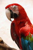 Big parrot (Green wings macaw) — Stock Photo
