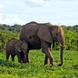 Mother and baby african elephants, Botswana, Africa. - Stock Photo