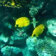 Tropical butterfly fish on Colourful coral reef in the Red Sea — 图库照片