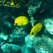 Tropical butterfly fish on Colourful coral reef in the Red Sea - Stock Photo