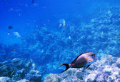 Tropical Sohal Surgeonfish in the Red Sea , Egypt — Stock Photo