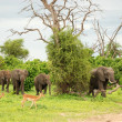 Wild elephants and impalas — Stock Photo
