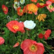 Stock Photo: Colorful poppies