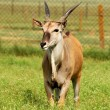 Antelope eland — Stock Photo