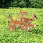 Group of Impala Antelopes in South Africa, wildlife shot — Stock Photo
