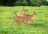 Group of Impala Antelopes in South Africa, wildlife shot — Stock Photo