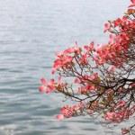 Magnolia branch on lake background. — Stock Photo #27194433